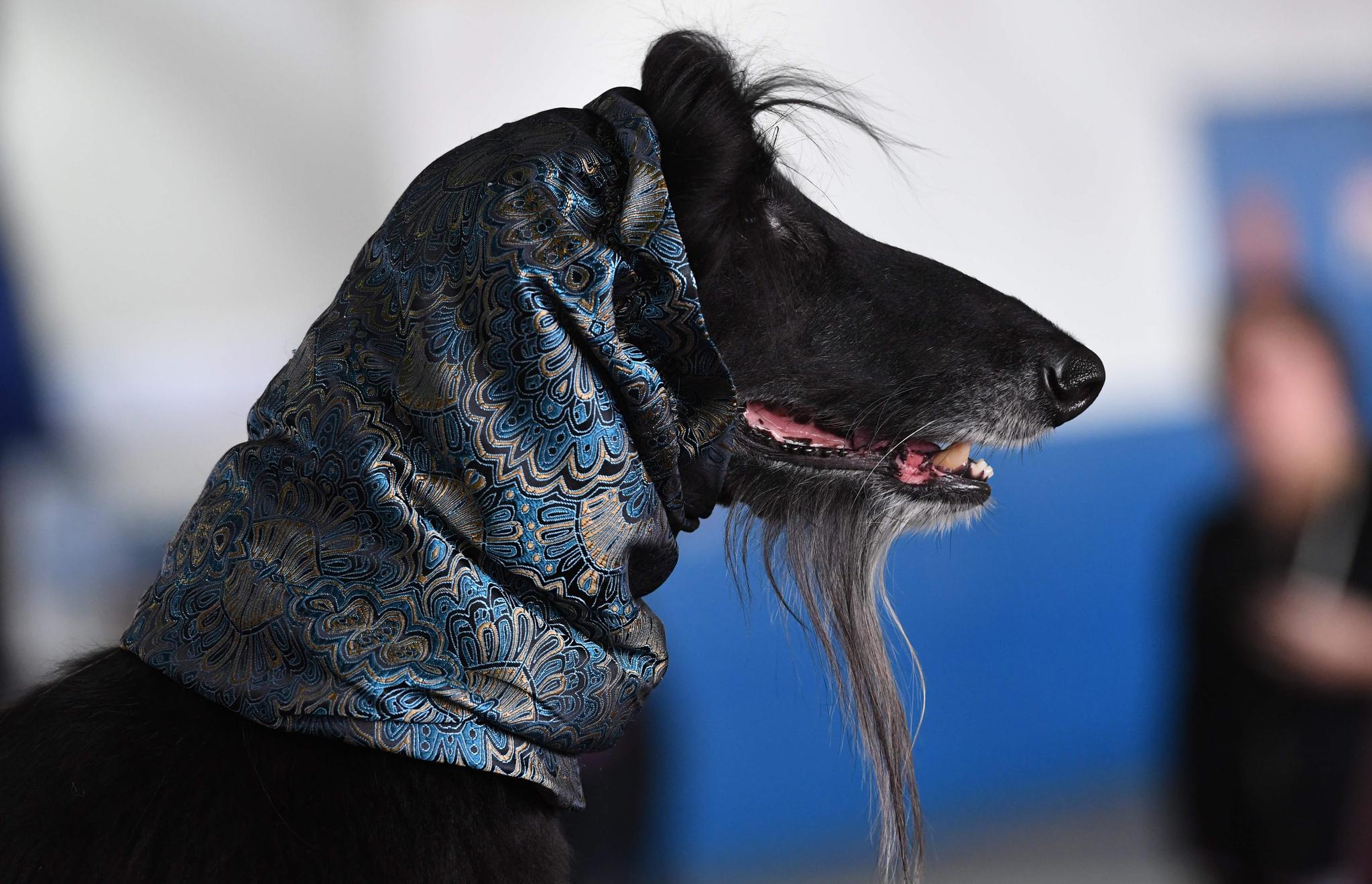 아프간 하운드가 염소를 닮은 긴 수염을 자랑하고 있다. [AFP=연합뉴스]