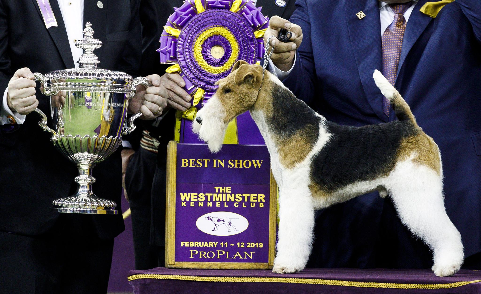 세계 3대 도그쇼인 웨스트민스터 도그쇼에서 와이어 폭스테이어 '킹'이 올해 최고의 애견으로 선정됐다. 12일(현지시간) 킹이 2019년 BIS(BEST IN SHOW) 수상컵과 함께 기념사진을 찍고 있다.  [EPA=연합뉴스]