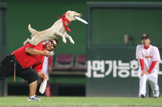 '프리스비' 공연을 선보이고 있는 리키의 모습. 프리스비는 사람이 원반을 던지면 원반이 땅에 떨어지기 전에 개가 점프하여 원반을 물어오는 게임이다. [중앙포토]