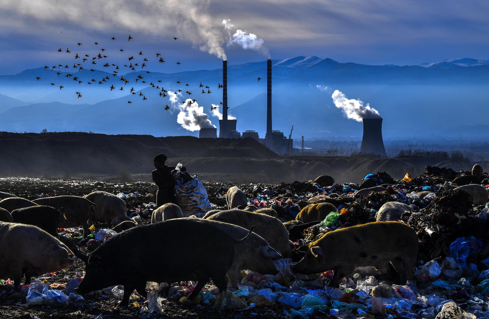 마케도니아 비톨라 화력발전소 인근에서 지난해 12월 돼지들이 쓰레기 더미에서 먹을것을 찾고 있다.[EPA=연합뉴스]