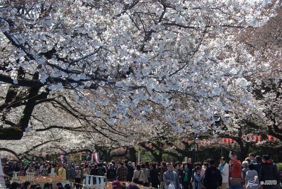 벚꽃이 만개한 우에노공원. [사진 일본정부관광국]