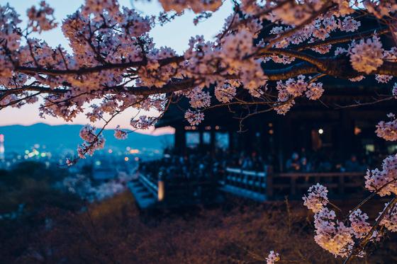 벚꽃 시즌에 야간 개장하는 기요미즈데라. [사진 기요미즈데라]