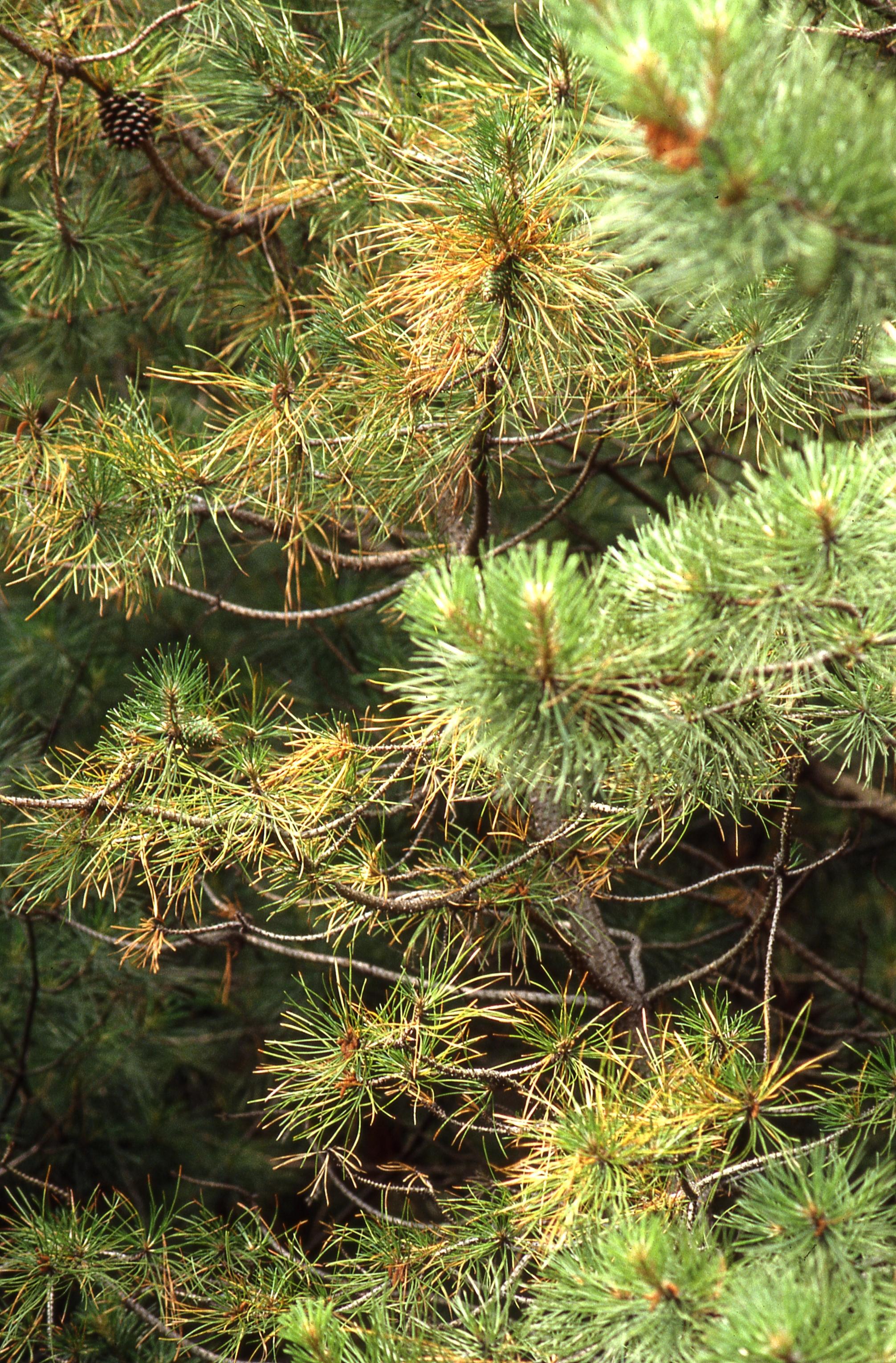 산성비로 인해 잎이 누렇게 변한 서울 관악산의 소나무 (2007년) [중앙포토]