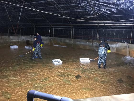 지난 19일 제주도 서귀포시 성산읍의 한 양식장에서 광어 출하를 위해 뜰채 작업을 하고 있다. 최충일 기자