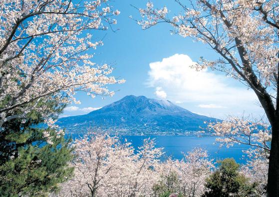 일본은 봄이면 전국이 벚꽃으로 물든다. 특히 우리나라와 가까운 일본 규슈는 일본의 아래 쪽에 있어 봄을 먼저 만끽할 수 있는 곳이다. 화산과 벚꽃의 조화가 일품인 사쿠라지마의 봄은 분홍빛 장관을 선사한다. [사진 롯데관광]