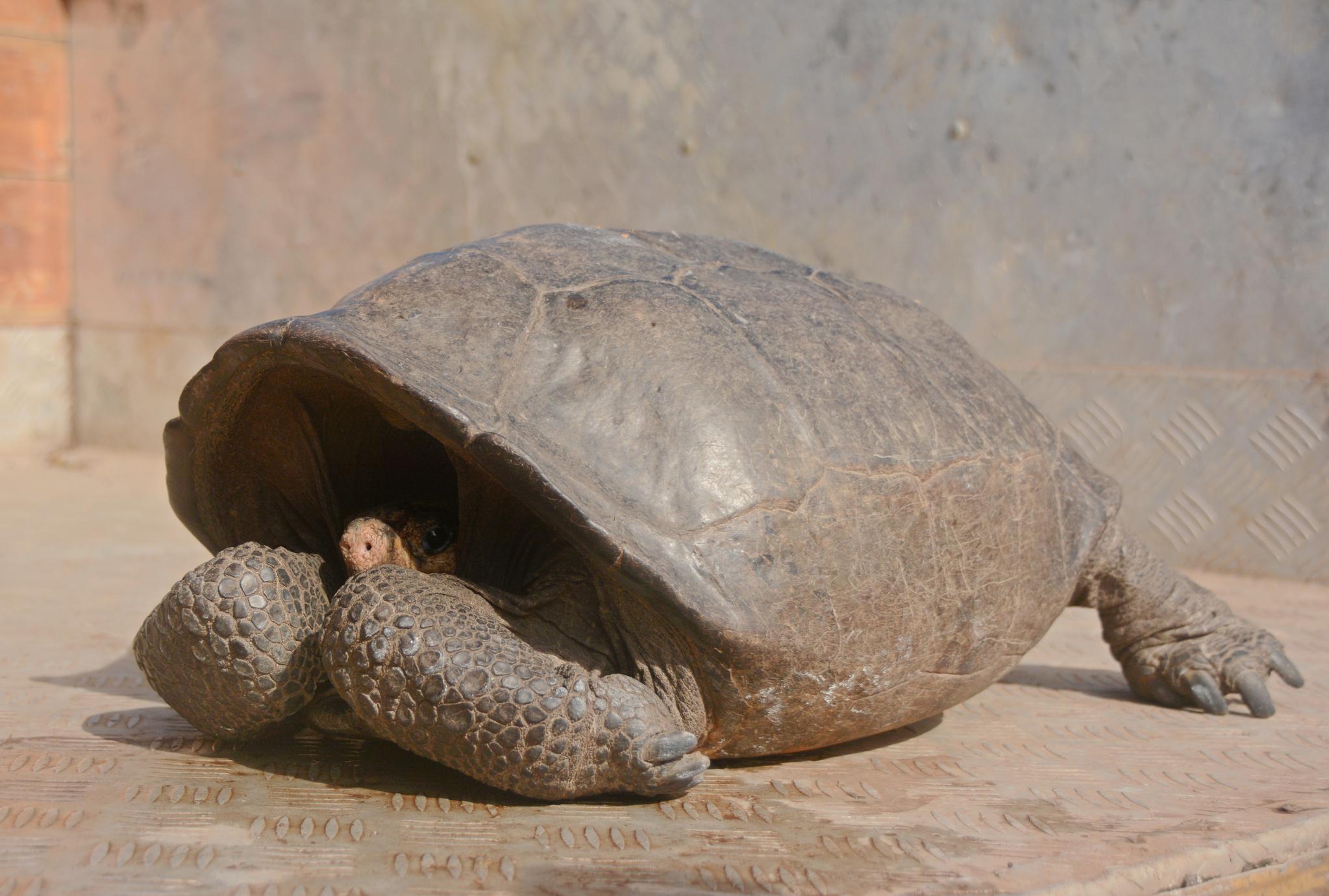 '반갑다' 멸종된 줄 알았던 갈라파고스 거북, 113년 만에 발견