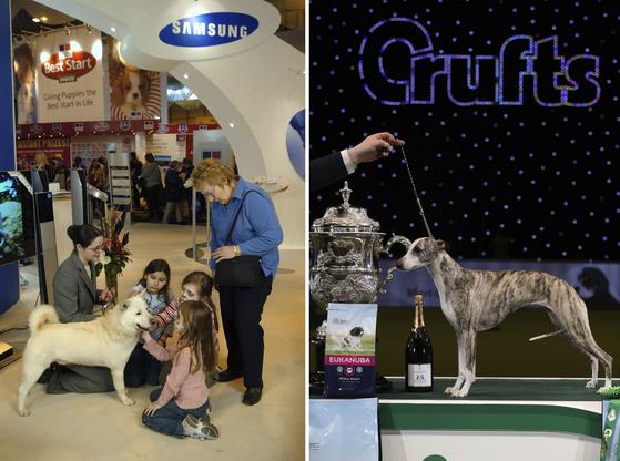 크러프츠 도그 쇼는 영국 최대의 권위있는 도그 쇼로, 관람객 수만 15만명이다. 영국 켄넬클럽에 등록된 한국의 진돗개(좌)가 참가하기도 했으며, 대회 최고의 견인'베스트 인 쇼'를 선발하기도 한다(우). [AP=연합뉴스]