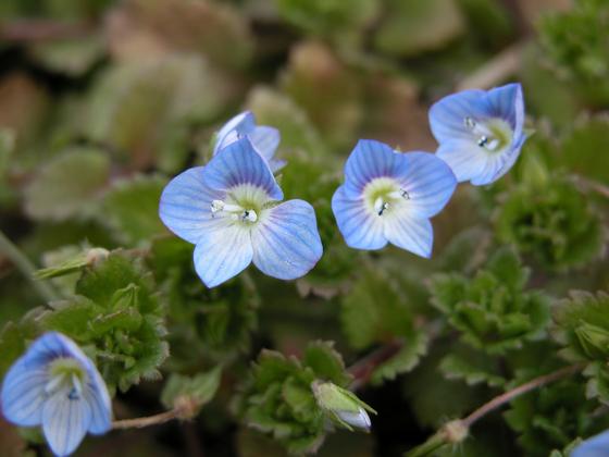 예쁜 모습과는 달리 '큰개불알풀(1980년 이창복)'이라는 민망한 이름으로 불리는 이 꽃을 앞으로는 '큰봄까치꽃'으로 부르자는 제안이 나왔다. 동북아생물다양성연구소는 한반도 관속식물 목록을 통해 새로운 이름을 제안했다. [사진 동북아생물다양성연구소 현진오]
