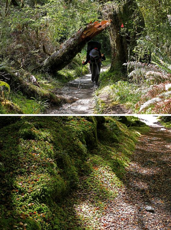 민타로 호수가 있는 산장까지 16.5km를 걸었다. 눈앞에서 그대로 꺾인 나무를 지나는 방법(위). 고사리는 나무보다 더 크게 자라기도 한다. 나뭇잎이 쌓여 푹신한 길을 걸어 깊은 숲으로 들어간다(아래). [사진 박재희]