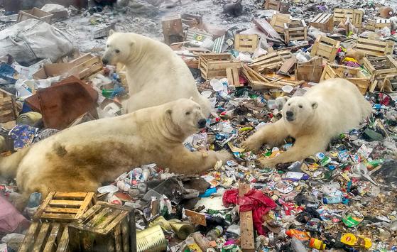 북극곰들이 러시아 노바야제믈랴 지구 벨루시아 구바 마을 근처에 있는 쓰레기 더미에서 먹을 것을 찾고 있다. 사진은 2018년 10월 31일 촬영했다. [AFP=연합뉴스]