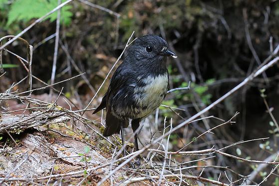 호기심이 많고 사람에게 경계심이 없는 새 로빈(Robin)은 숲을 걷는 동안 다가와 말을 건네듯 지저귀고 먹을 것을 요청하기도 한다. [사진 박재희]