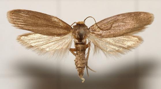 플라스틱의 주 성분인 폴리에틸렌과 벌집 속 왁스를 분해하는 '꿀벌부채명나방'의 기능이 밝혀졌다. 향후 플라스틱 문제를 해결할 실마리가 열린 셈이다. [사진 Wikipedia]
