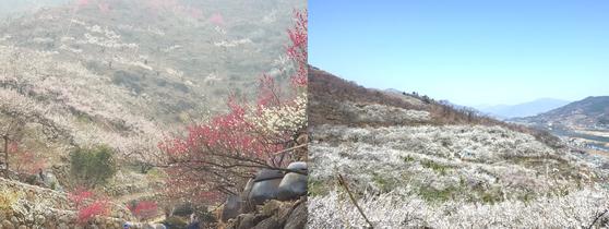 미세먼지로 뿌연 전남 광양 매화축제 현장의 지난 5일 모습(왼쪽)과 지난해 3월 맑은 하늘 속 같은 장소의 모습. [사진 광양시]