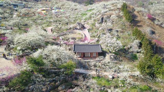 '2019 광양매화축제' 2일차인 9일 전남 광양시 섬진강 매화마을에 마치 흰 눈이 내린 듯 아름다운 모습을 보이고 있다. 매화축제는 오는 17일까지 계속된다.[독자 제공=뉴스1]