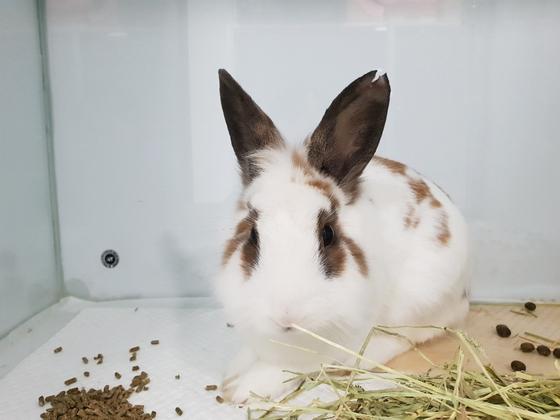 대검에서 발견된 흰색 토끼와 동일 인물(?)로 추정되는 '성토 35번 수컷' 토끼. 중성화 수술을 받았다는 표시로 왼쪽 귀 일부가 'V'자로 잘려있다. [몽마르트 공원 토끼 돌보미 제공]