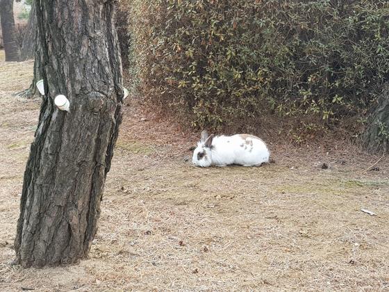 하얀 토끼가 대검찰청 잔디밭에서 휴식을 취하고 있다. 김기정 기자