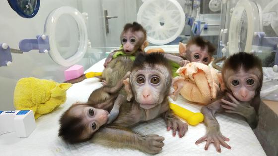 지난해 11월 중국과학원 신경과학 연구소가 공개한 유전자 편집 원숭이. 유전자 편집으로 인해 정신 질환을 안고 태어난 원숭이를 복제해 5마리의 원숭이를 탄생시켰다. [EPA=연합뉴스]