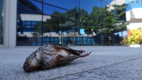 건물 유리창에 충돌해 폐사한 새. [환경부 제공]