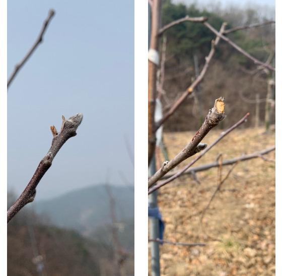 사과 나무에 핀 꽃눈(左), 꽃눈을 붉은사슴이 뜯어먹은 흔적(右). [김정석 기자]