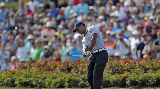 타이거 우즈가 16일 PGA 플레이어스 챔피언십 2라운드 17번 홀에서 세번째 샷을 시도하고 있다. [AP=연합뉴스]