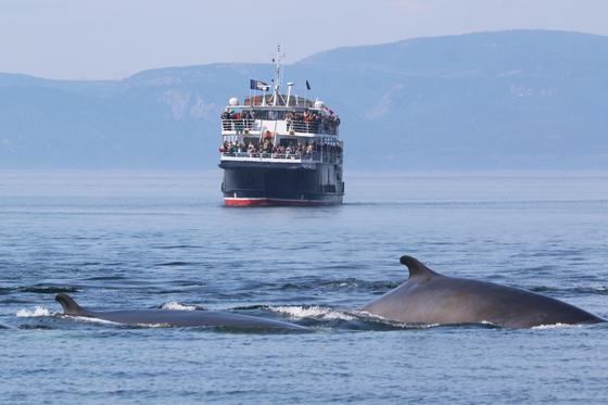 퀘벡시티는 세계적인 고래 관광 명소다. 700명까지 탑승할 수 있는 AML 크루즈의 고래 관광선. [사진 캐나다관광청]
