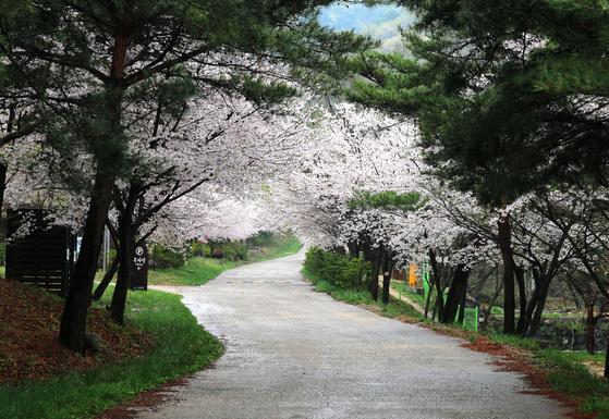 용현자연휴양림은 벚꽃을 감상하며 하룻밤 묵기 좋은 휴양림이다. [사진 국립자연휴양림관리소]