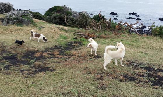 올레를 걷다가 동네 강아지들과 정들면 곤란하다. 이 녀석들은 30분 동안 꼬리 치며 나를 따라왔다. [사진 박헌정]