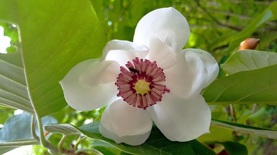 어린이 주먹 만한 함박꽃. 늦봄이나 초여름에 핀다. [사진 국립자연휴양림관리소]