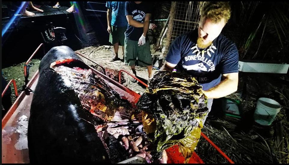 사진은 이 고래를 해부한 해양생물학자 대럴 블래츌리 박사가 쓰레기를 꺼내는 모습. [사진 D' Bone Collector Museum Inc. 페이스북]