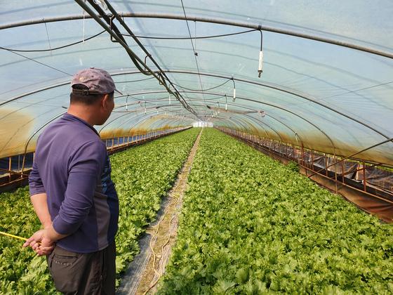 합천군 광암들 비닐하우스에서 농민이 재배 중인 양상추를 살펴보고 있다. 지하수를 활용해 수막재배를 하는 농민들은 보 수문을 개방할 경우 지하수위가 내려가면서 농사에 지장을 받지 않을까 걱정하고 있다. 위성욱 기자