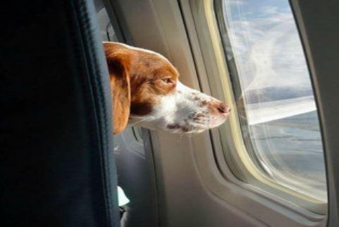 항공기에 탄 반려동물. [중앙포토]