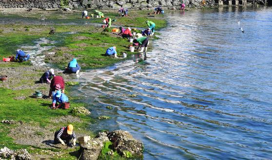 화창한 봄 날씨가 이어진 24일 어민들이 경남 통영시 도산면 인근 갯벌에서 조개를 캐고 있다. [뉴시스]