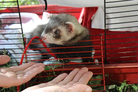 페럿은 야생성이 강한 동물이지만 쉽게 길들일 수 있고, 귀엽고 사랑스러운 외모와 함께 장난스러운 행동으로 인기가 있다. [사진 pixabay]