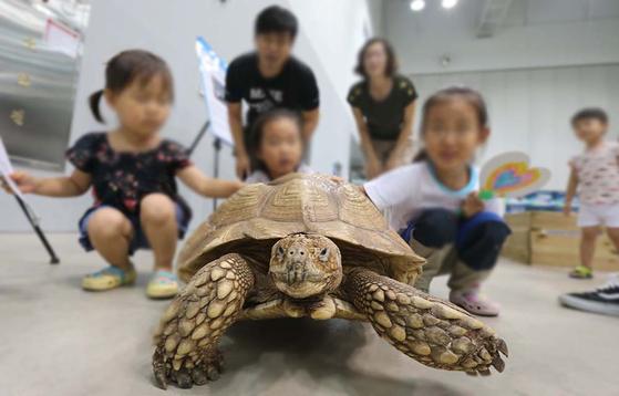 거북과 이구아나는 파충류로 변온동물이다. 온도에 따라 대사가 활발하고 느려지기 때문에 적정한 온도관리가 중요하다. 사진은 한 체험전에서 어린이들이 거북이를 구경하고 있는 모습. 송봉근 기자