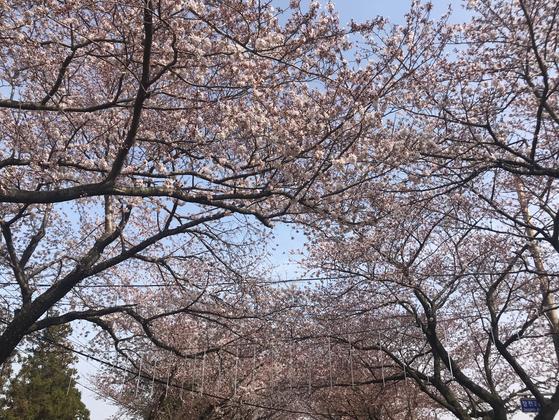 지난 29일 제주시 애월읍 장전리일대에 만개한 제주왕벚꽃. 최충일 기자