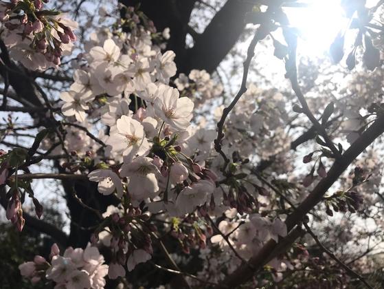 지난 29일 만개한 제주시 애월읍 장전리의 벚꽃. 최충일 기자