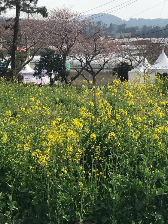 벚꽃과 유채꽃이 조합을 이룬 제주시 애월읍 장전리 일대. 최충일 기자