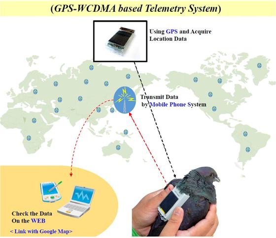 흑비둘기에 부착한 휴대전화 기반 위치추적기. [국립생태원 제공]