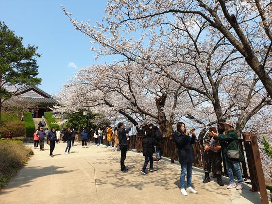 지난달 31일 오후 강원도 강릉시 저동 경포대충혼탑. 벚꽃을 보기 위해 경포대를 찾은 관광객들이 벚나무 아래에서 기념사진을 찍고 있었다. 박진호 기자