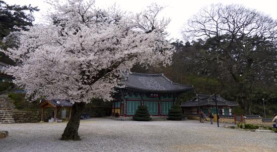 김제 망해사는 1300년 전 절터(백제 의자왕 2년 서기 642년)에 지어진 사찰이다. 일반적인 불교 사찰의 건축 문법을 벗어나 파격의 구조를 가진다. 절집 마당 한가운데 벚나무가 화려하다. [사진 박재희]