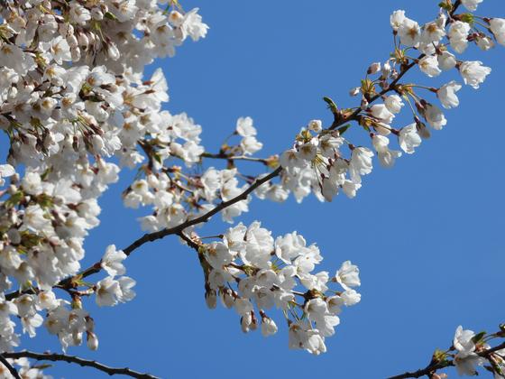 지난 1일 서울 여의도 윤중로에 핀 벚꽃. 공식 관측목을 포함해 전체적으로는 벚꽃이 피지 않았으나 한 두그루는 꽃을 활짝 피웠다. 강찬수 기자