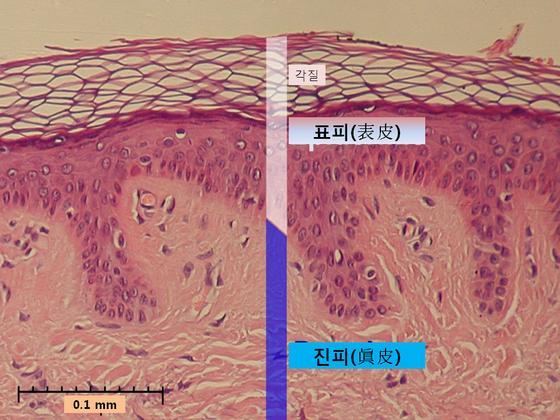 사람의 피부는 표피-진피-피하지방 등 층으로 구성돼있다. 이번 도쿄대와 스트라스부르대 연구진이 밝혀낸 17형 콜라겐 단백질 COL17A1의 경우, 표피와 진피 사이의 기저막에 분포하며 두 층의 구조를 잡아주고, 줄기세포 내에서 경쟁을 촉발해 노화 줄기세포를 밀어내는 것으로 분석됐다. [중앙포토]