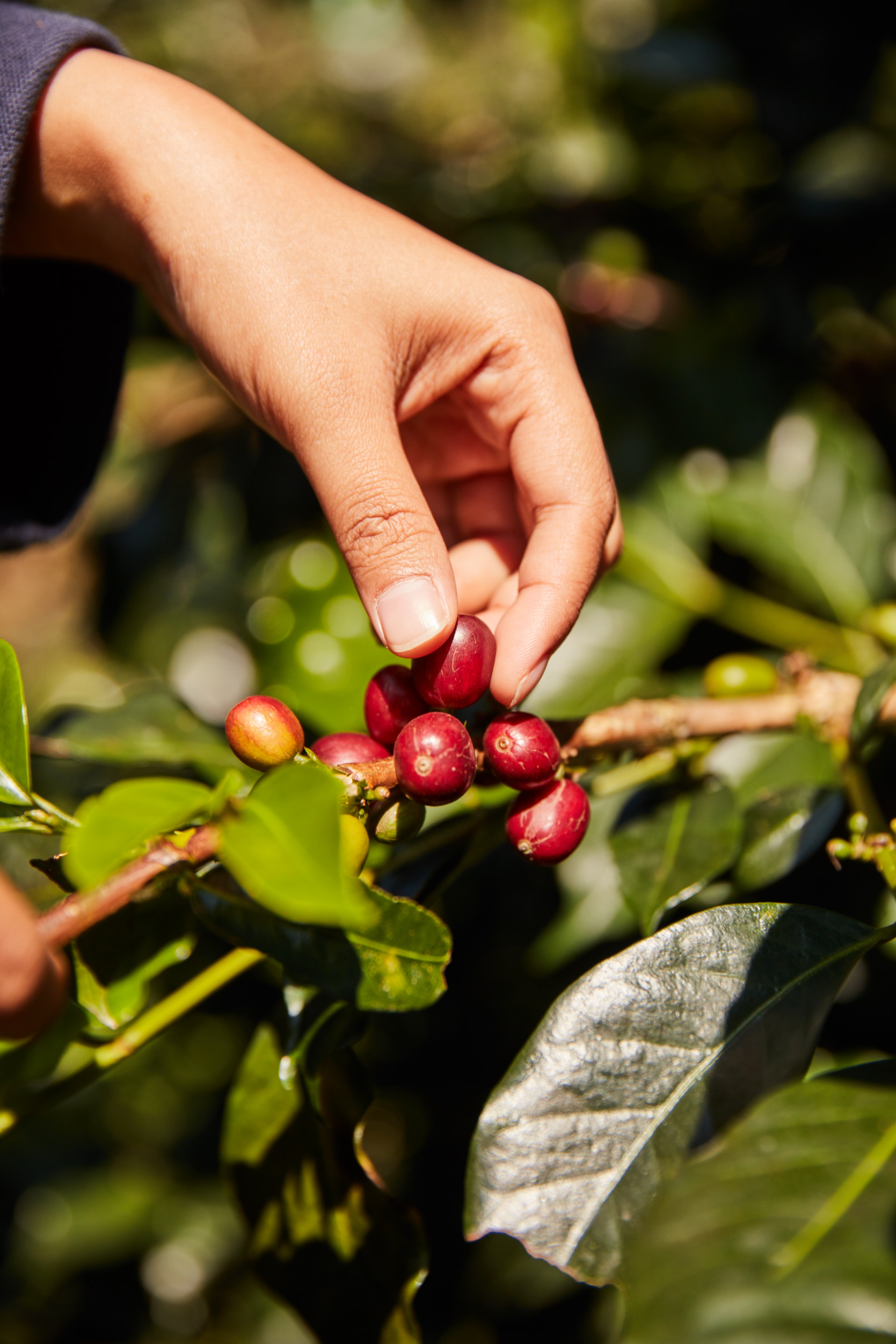 인도네시아 자바 커피. [사진 네스프레소]