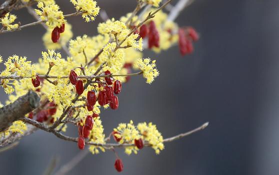 산수유나무에 노란 꽃이 활짝 핀 가운데 가을에 맺힌 빨간 열매가 여전히 주렁주렁 매달려 있다. <저작권자(c) 연합뉴스, 무단 전재-재배포 금지>