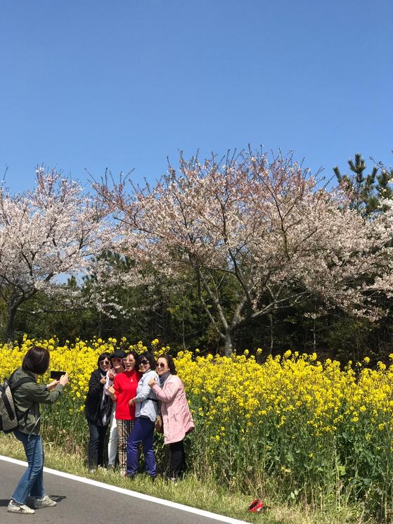 올해 제주 유채꽃 축제를 찾은 관광객들이 벚꽃과 유채꽃을 배경으로 사진을 찍고 있다. 최충일 기자