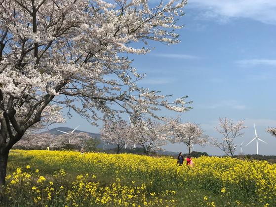 지난 5일 10㎞의 벚꽃과 유채꽃길이 펼쳐진 제주도 서귀포시 표선면 가시리 녹산로를 관광객들이 걷고 있다. 최충일 기자