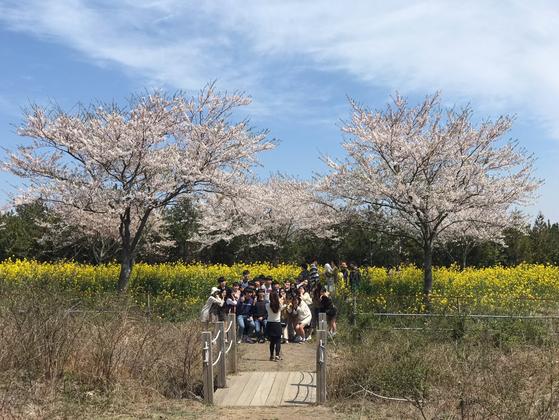 올해 제주 유채꽃 축제를 찾은 한 수학여행단이 벚꽃과 유채꽃을 배경으로 단체사진을 찍고 있다. 최충일 기자