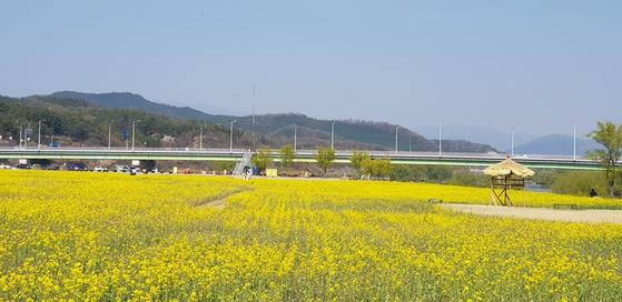 2019년 봄을 맞은 하중도. 유채꽃이 장관이다. [사진 독자제공]