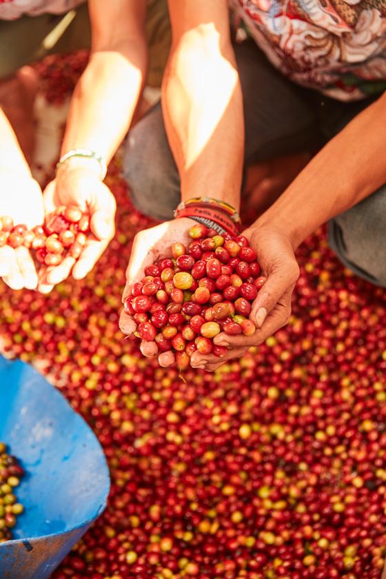 유기농으로 키운 인도네시아 자바 섬 씨위데이 농장의 커피. [사진 네스프레소]