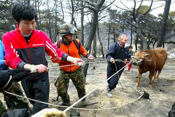 강원도 양양군 일대의 산불이 잡히면서 6일 오후 군 장병이 동원돼 복구 작업이 시작됐다. 용호리 주민과 장병들이 불을 피해 달아났던 소를 찾아 끌고가고 있다.